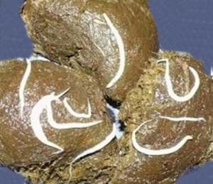 Volwassen Aarswormen op mestballetjes