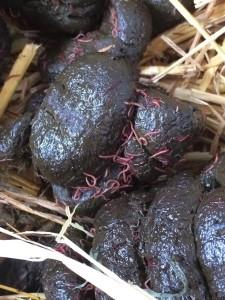 Bloedwormlarven op mest